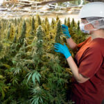 Safety National Hosts Medical Marijuana Webinar, Local Carriers Talk Marijuana Policy